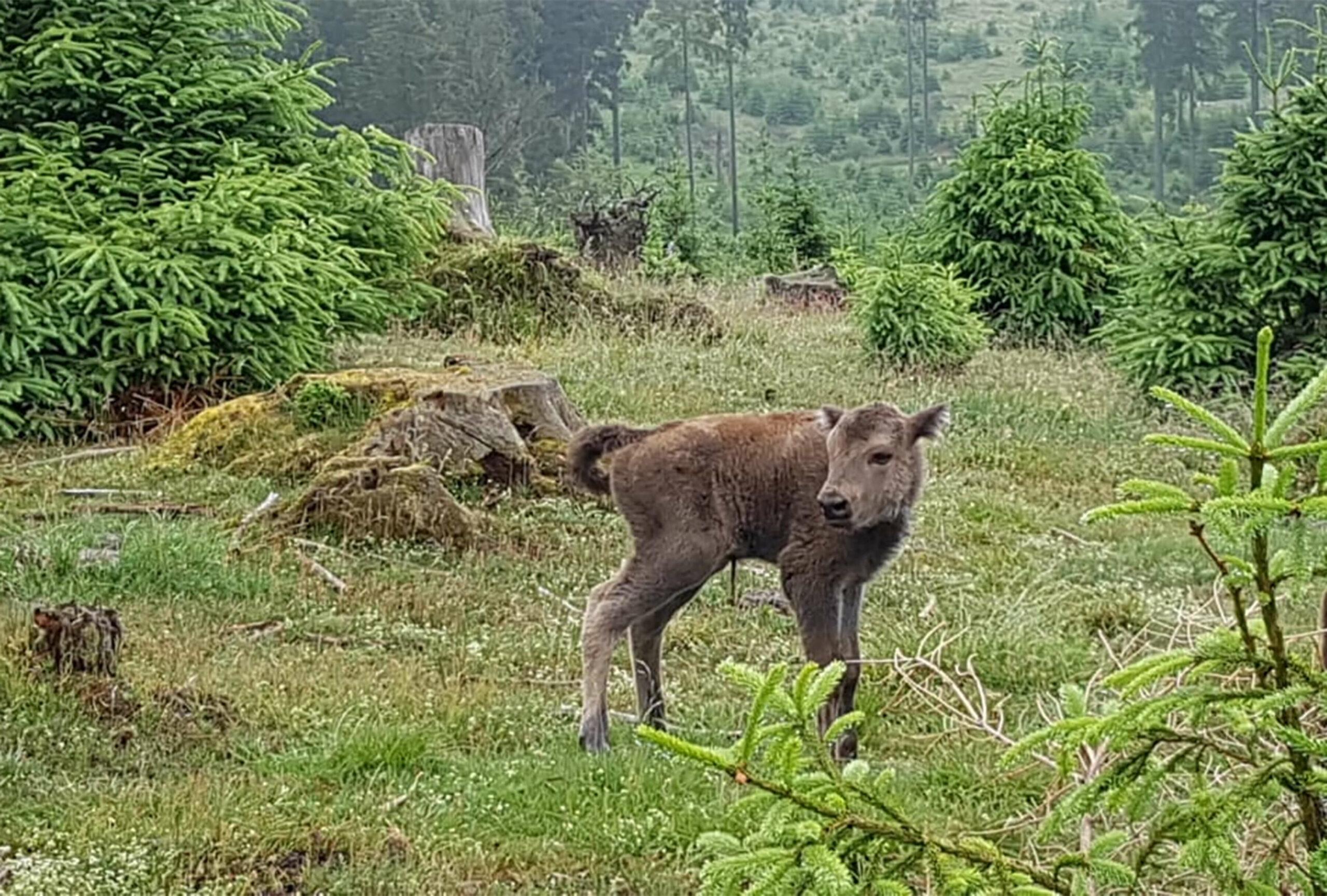 Das neue Kälbchen im Besucherareal Wisent-Wildnis am Rothaarsteig im Wald
