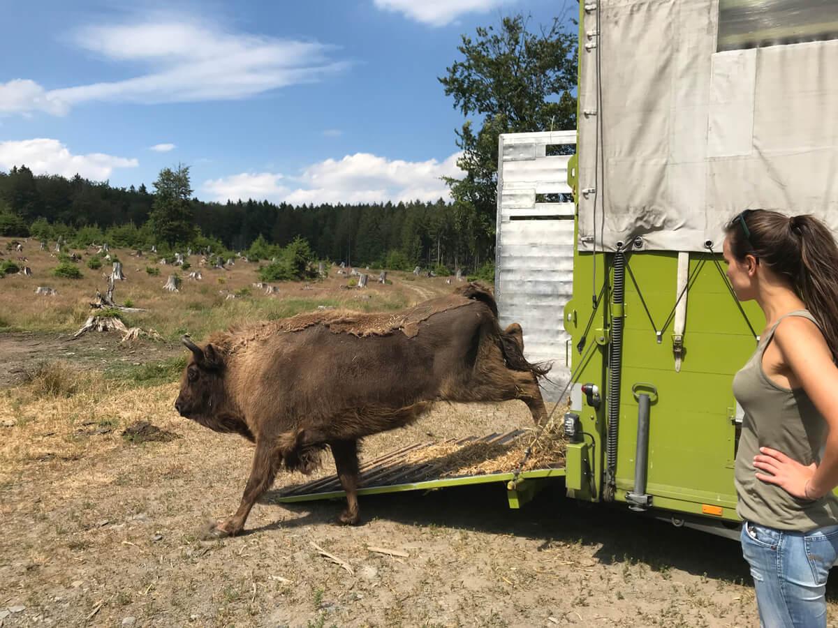 Wisent läuft aus dem Transporter in sein neues Zuhause: die Wisent-Wildnis am Rothaarsteig