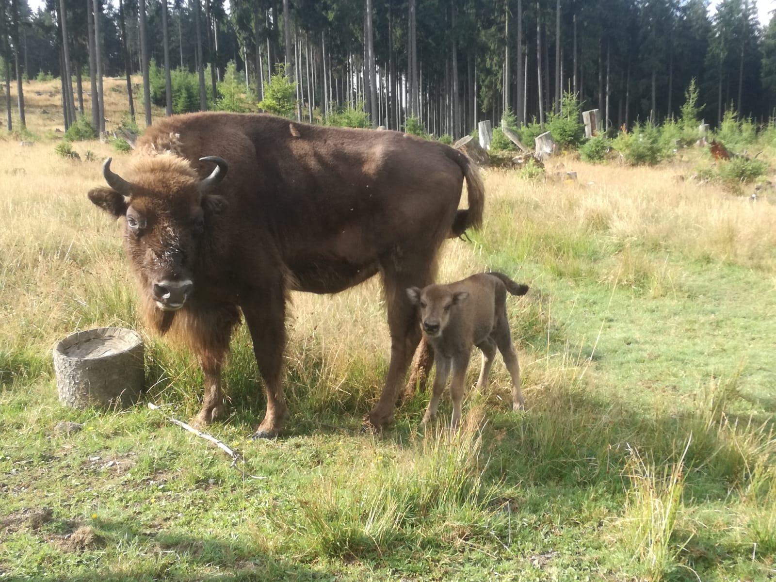 Wisent-Kälbchen Quembe mit Mama Donamia in der Wisent-Wildnis am Rothaarsteig