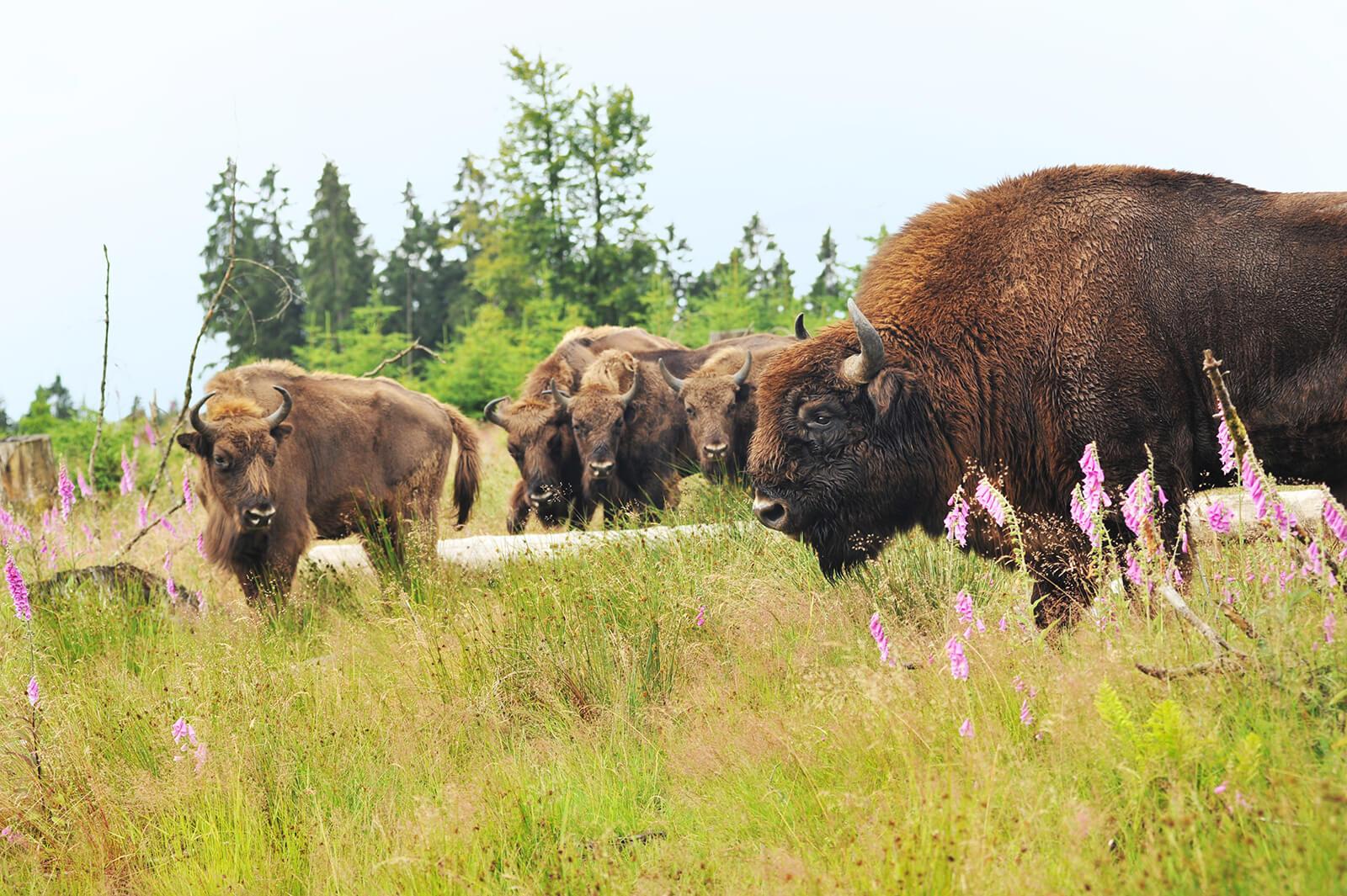 Wisentherde in der Wisent-Wildnis auf saftiger Wiese mit dem Wisentbullen im Vordergrund