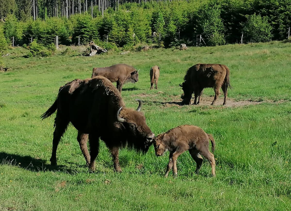 Wisent mit Kalb und Herde auf einer Wiese in der Wisent-Wildnis