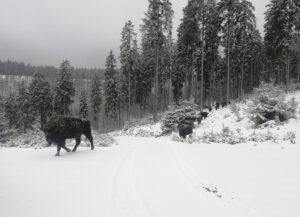 Wisent im Schnee überquert einen Waldweg