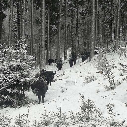 Wisentherde läuft durch den verschneiten Wald