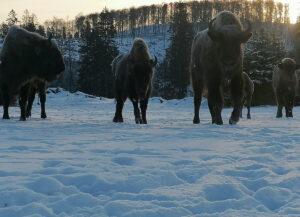 Wisentherde in der verschneiten Wisent-Wildnis am Rothaarsteig