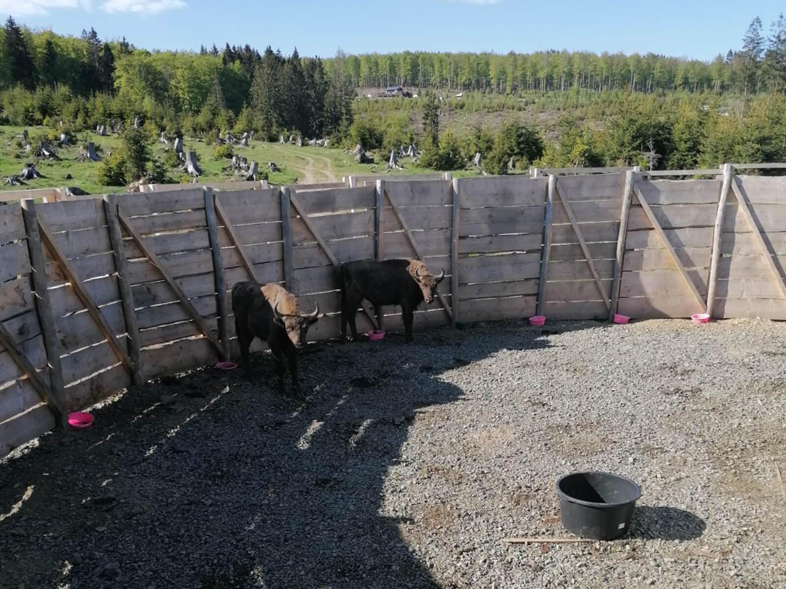 Blick in die Fanganlage mit den beiden Jungbullen Quill und Quandro.