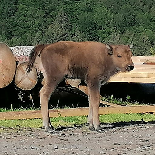 Wisent-Kälbchen Quaida in der Wisent-Wildnis vor einem Holzstapel
