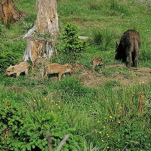 Wildsau mit Frischlingen in der Wisent-Wildnis am Rothaarsteig