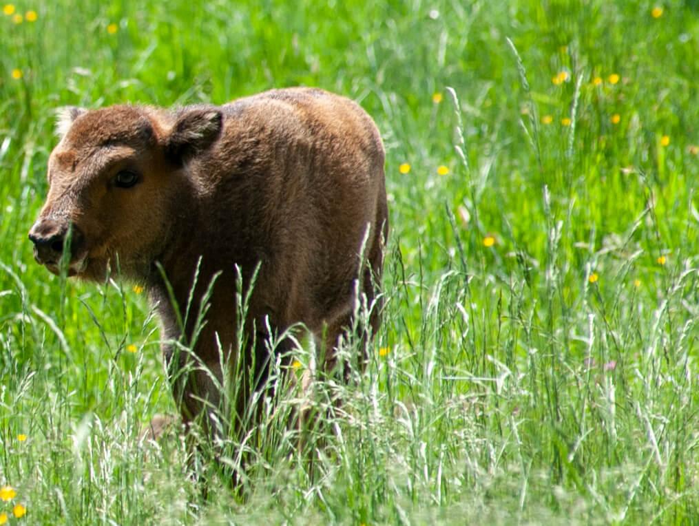 Wisentkalb im hohen Gras in der Wisent-Wildnis