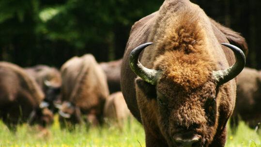 Wisentbulle in der Wisent-Wildnis mit der Herde im Hintergrund