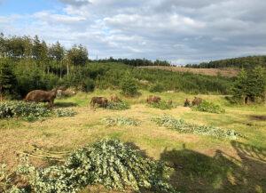 Wisentherde in der Wisent-Wildnis fressen Grünschnitt auf der Wiese
